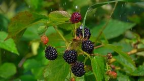 Drops of rain dripping on ripe blackberry berries. On a branch bush, in time the summer rain stock video
