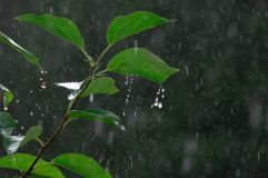 Drops of rain. Fall from sky on the green leaves at the summer garden Royalty Free Stock Image