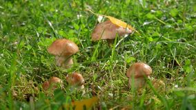 Drops of rain fall on a group of edible mushrooms. Hidden in the grass stock video footage