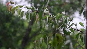 Drops of rain fall on leaves of the tree, wind and rain outside window, wind shakes trees. Drops of rain fall on leaves of tree, wind and rain outside window stock footage