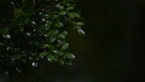 Drops of rain on green leaves stock footage