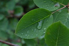Drops of rain on green leaves in the early morning Stock Photography