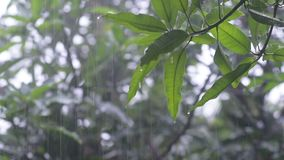 Drops of rain on green leaves stock video