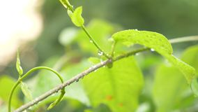 Drops of rain on the leaves of the loach, close-up, 4k stock footage