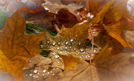 Drops of rain water on fallen autumn maple leaves. Stock Photography
