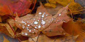 Drops of rain water on fallen autumn maple leaves. Stock Image