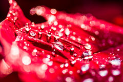 Drops of red flower Royalty Free Stock Images