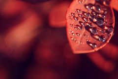 Drops on the red leaves in the sunsett royalty free stock image