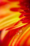 Drops on red yellow gerbera flower. Two drops, two colours and two petals of gerbera flower stock photography
