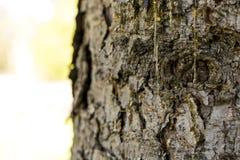 Drops of resin on pine tree bark Stock Image