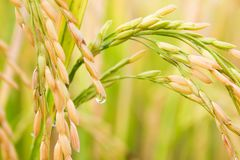 Drops on rice field in north Thailand, nature food landscape background. royalty free stock photos