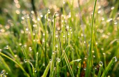 Drops of spring dew. Which reflects not only the morning sun, but also the grass on the field. A good photo can be used as a background for creating creative royalty free stock images