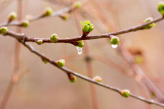 Drops of spring rain on the opening buds Royalty Free Stock Photo