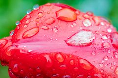 Drops of spring rain on red tulips stock photography