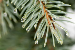 Drops on spruce branch Stock Photos