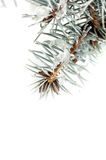 Drops on spruce branch closeup Royalty Free Stock Photos