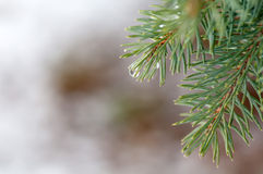 Drops on spruce branch closeup Royalty Free Stock Image