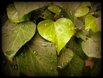 DROPS TO JOURNAL. Green foliage of bushes on which they are trapped drops of rain Stock Photos