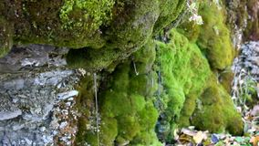 Drops and trickles of clear water flow down from mossy cliff. Drops and trickles of transparent clear water flow down from moss covered rocks. Closeup stock footage