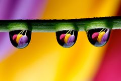 Drops and Tulips Stock Photos
