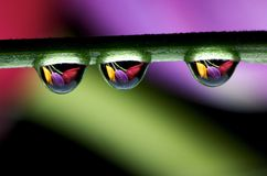 Drops and Tulips Royalty Free Stock Images