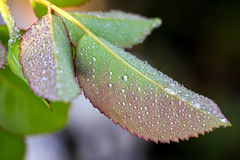 Drops of water all over rose leaves Stock Image