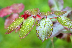 Drops of water all over rose leaves Stock Photo