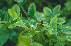Drops of water on the bush. The nature after rain - green bush with drops of water Stock Photography