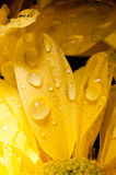 Drops of water on a chrysanthemum Royalty Free Stock Photos
