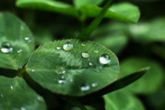 Clover. Drops of water on clover leaves, macro close-up view Royalty Free Stock Images