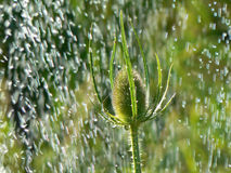Drops of water falling. On Dipsacus plant Royalty Free Stock Photos
