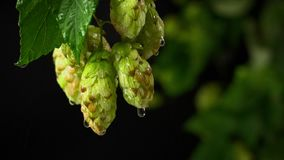 Drops of water falling from hops stock footage