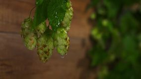 Drops of water falling from hops stock video footage