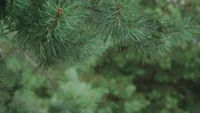 Drops of water falling from moving fir tree branches. Drops of water falling from green moving fir tree branches stock video footage