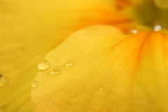 Drops of water on flower petal Royalty Free Stock Photography