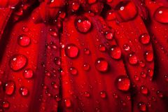 The drops of water on the gerber petal Stock Images