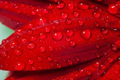The drops of water on the gerber petal Royalty Free Stock Image