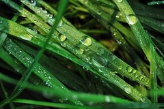 Drops of water in grass Royalty Free Stock Photos