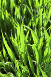 Drops of water on green grass. Royalty Free Stock Photos