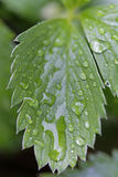 Drops of water on green leaf Royalty Free Stock Photography