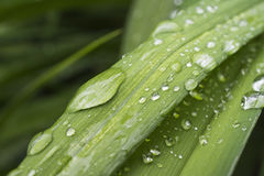 Drops of water on green leaf. Water drops on green leaf after rain Royalty Free Stock Photo