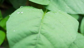 Drops of water on green  leaves Royalty Free Stock Photo