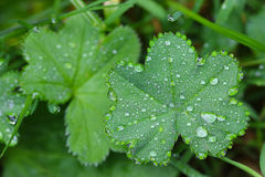 Drops of water on Lady's mantles leaves Stock Photography