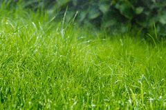 Grass after rain. Drops of water on the lawn after the rain Royalty Free Stock Photo