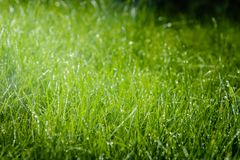 Grass after rain. Drops of water on the lawn after the rain Stock Photos
