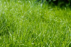Grass after rain. Drops of water on the lawn after the rain Stock Photography