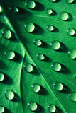 Drops Of Water On Leaf Royalty Free Stock Image
