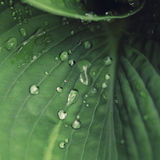 Drops of water on leaf . Drops of water on green leaf royalty free stock photography