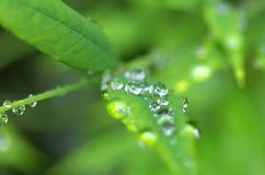 Drops of water on the leaves Royalty Free Stock Image