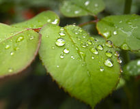 Drops of water on leaves Royalty Free Stock Photo